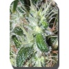 364 pulsar-buddha-seeds-cannabisgreen 1011613090
