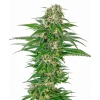 early-skunk-autofloracion-xl