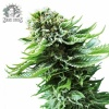northern-lights-autofloracion-web