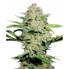 sensi-skunk-autofloreciente-photo