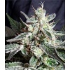 sweet seeds - black jack